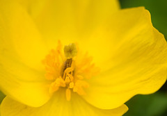 Swarmed by Guys (MTSOfan) Tags: plant flower macro yellow pistil stamen reproduction