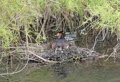 Camera Weary Grebe! (RiverCrouchWalker) Tags: bird spring nest april essex grebe walthamabbey riverlea 2016 greatcrestedgrebe podicepscristatus leevalleypark leevalleycountrypark camerawearygrebe