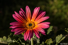 African Daisy (Ken Mickel) Tags: flowers plants flower nature colors gardens closeup garden photography flora blossom bokeh blossoms daisy africandaisy upclose debthoffield