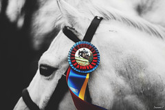 (suzcphotography) Tags: show horse color detail monochrome canon 50mm champion pony winner tricolor jumper hunter ribbon equestrian equine selective t3i