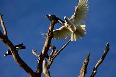 On the attack (Luke6876) Tags: tree bird animal wildlife parrot honeyeater magpie cockatoo sulphurcrestedcockatoo australianwildlife butcherbird noisyminer australianmagpie