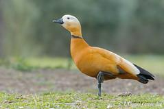 El Sr. Canelo (Dani (Atrus)) Tags: espaa naturaleza birds fauna spain aves ruddyshelduck tadornaferruginea tarrocanelo jdanielfernndez elrincndelosprotegidos