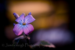 Nikon d5300 macro (Jasrmcf) Tags: pink shadow blur flower macro beautiful contrast nikon dof purple bokeh smooth colourful 40mm nikkor magical bokehlicious