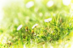 it is over (von Renate Bomm) Tags: flower nature de deutschland spring natur kln blume blte nordrheinwestfalen frhling gnseblmchen verblht 2016 366 frhlingsblume flickrunitedaward renatebomm