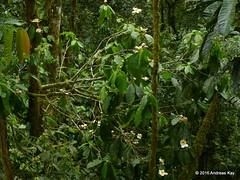 Gustavia hexapetala, Lecythidaceae (Ecuador Megadiverso) Tags: flower tree ecuador lecythidaceae gustaviahexapetala andreaskay