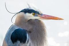 Great Blue Heron (mLichy911) Tags: seattle blue lake bird heron nature canon spring wildlife portait great wa backlit pnw juanita badhairday detailed igotmyeyeonyou youlookinatme 500f4 7dmarkii