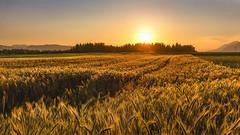 Sunset above wheat fields (Dejan Hudoletnjak) Tags: sunset sun warm wheat sunny fields sunsetlight