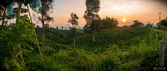 Coffee pano (VicManiaco) Tags: sunset coffee caf landscape colombia