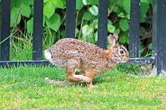 Rabbit 16-0426-8970 (digitalmarbles) Tags: canada rabbit bunny nature grass animal fence bc britishcolumbia wildlife tan ears running hopping lowermainland surreybc wildlifephotography canonef75300mmf456usm canoneosrebelt5