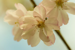 20160424-10_A little bit of spring (gary.hadden) Tags: park flowers macro tree spring memorial pretty stamens romantic coventry floweringcherry topgreen