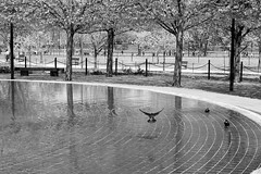 Taking Flight (Dylan Pardue) Tags: park trees monochrome birds dc minolta