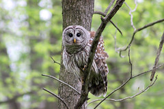 Barred Owl (J_Dubb94) Tags: trees forest outdoors wildlife hunting owl barred