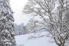 (planetphoto.fr.ht) Tags: blue winter white snow green ice nature monochrome switzerland la suisse natural hiver natur natura vert ciel jura bosque neige extrieur arbre blanc gel froid fort sapin glace neiges bosques snows aventure hauteur pananorama greatnature epine arbes sagne switzera