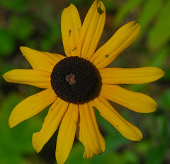 Black-Eyed Suan (Rudbeckia hirta) (wackybadger) Tags: flower yellow wisconsin doorcounty blackeyedsusan rudbeckiahirta tnc thenatureconservancy nikond60 wisconsinstatenaturalarea nikon1855mmf3556gafsvr cavepointclaybankssna cavepointclaybanksunitshiveringsands
