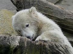 Lili Baby  (BrigitteE1) Tags: bear white germany de geotagged europe polarbear lili bremerhaven zooammeer br eisbr specanimal polarbearcub eisbrbaby lilibaby