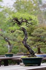 20160413-42-Bonsai at Kyoto Botanic Gardens (Roger T Wong) Tags: travel trees holiday japan kyoto bonsai botanicgardens 2016 canonef70200mmf4lisusm canon70200f4lis canoneos6d rogettwong