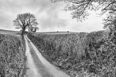 Until I find my way back home (OR_U) Tags: street uk blackandwhite bw tree clouds rural landscape blackwhite cattle cows path meadow overcast prince hedge oru schwarzweiss 2016 waybackhome silverfx