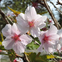 2016-04-12 Prunus nipponica Brillant - BG Teplice (beranekp) Tags: flower garden flora czech botanic botany garten prunus herbarium botanik teplice teplitz herbary herb