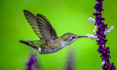 Suspended animation : In Explore May 1st 2016 (Gaurav Agrawal @ San Diego) Tags: bird san bokeh diego hummer humming