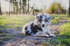 Randy, spring... (Alice Veresova) Tags: nature animals spring mydog miniaussie lovedog