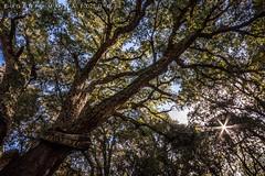 Leccio secolare -- #42Explore (matta.eu) Tags: sardegna parco canon montagna settefratelli sughero leccio canon50d parcosettefratelli eugeniomatta
