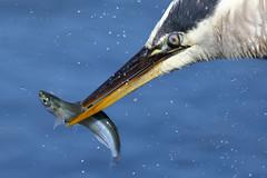 Gottcha! (bmse) Tags: blue fish heron canon great 7d l f56 salah bolsachica 400mm wingsinmotion bmse baazizi