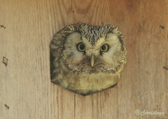 Mochuelo boreal Boreal Owl (Aegolius funereus) (Corriplaya) Tags: birds aves borealowl aegoliusfunereus corriplaya mochueloboreal tengmalm'sowl