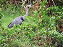 Blue Heron on the Hunt for Food in the Rain 2 (soniaadammurray - SLOWLY TRYING TO CATCH UP) Tags: fish nature rain birds eat hungry blueheron snakes hunt digitalphotography