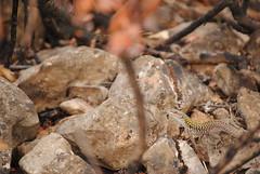 Lucertola nel bruciato (Abbruxiau) Tags: sardegna foto reptile natura lizard campagna passione lucertola rettile nurallao nuradha callixetta