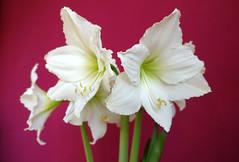 Amaryllis V (christiane.grosskopf) Tags: flower blossom amaryllis blume blooming blhen blhte sonyrx100iii sonyrx100m3