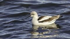 American Avocet - Winter (Bob Gunderson) Tags: california birds northerncalifornia southbay baylands americanavocet shorebirds santaclaracounty recurvirostraamericana shorelinelake
