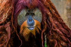 Motley Mascarade (jetcitygrom) Tags: portrait orange brown fur mammal zoo eyes miami orangutan ape mustache bipedal orangutang greass zoomiami