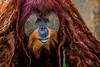 Motley Mascarade (jetcitygrom) Tags: portrait orange brown fur mammal zoo eyes miami orangutan ape mustache bipedal orangutang greass zoomiami