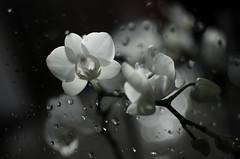 white orchid (Ewa Sokol) Tags: white orchid flower fleur blanc orchide krople orchidea kwiat
