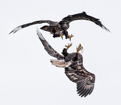 Winter Eagles at Lock 14 (Jan Crites) Tags: winter bird nature river nikon eagle symbol wildlife baldeagle iowa raptor mississippiriver americanbaldeagle d610 leclaireiowa jancritesphotography nikon200500mm