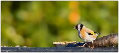 tte droite pour le dfil de mode ! (Paloudan) Tags: goldfinch sparrow fashionshow animaux oiseau chardonneret chardonneretlgant dfildemode passereaux
