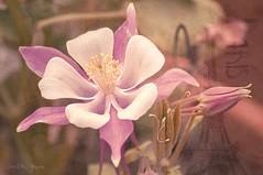 A romantic day (Explore 20/01/16) (Jos Luis Prez Navarro) Tags: naturaleza flower macro texture textura primavera nature spring nikon flor natura springtime d90 blacky2007 joseluisperez vigilantphotographersunite