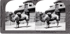 A78) (Vernon Parish Library) Tags: lincolnparkzoo bactriancamel chicagoill