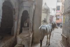 Foggy Street, Varanasi (Well-Bred Kannan (WBK Photography)) Tags: street travel winter india up fog river cow nikon indian foggy varanasi d750 hindu lingam kashi ganga ganges ghats banaras trourism kannan kasi wellbred uttarpradesh wbk shivling lordshiva holyriver uttarpradesh travelphotography ghatsofvaranasi wbkphotography kannanmuthuraman nikond750