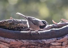 Mountain Chickadee (Laura Erickson) Tags: california birds places species passeriformes poecilegambeli mountainchickadee sanbernardinonationalforest paridae idyllwildnaturecenter