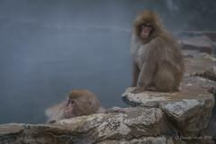 Snow Monkeys - young ones (NettyA) Tags: travel winter wild pool animals japan asia wildlife nosnow naganoprefecture 2015 yudanaka snowmonkeys yamanouchi macacafuscata japanesemacaques jigokudanimonkeypark yokoyuriver