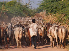 Gujarat 2014 (hunbille) Tags: india buffalo cattle sheep shepherd nomad herd herds gujarat rabari shepherds kutch rizwan cy2 katch kaatch 15challengeswinner dhamadka dhamadkha kaachchh merwari