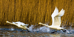Wilde Zwaan / Whooper Swan -1614 (rob.bremer) Tags: winter bird nature water birds outdoor wildlife dunes natuur aves birdsinflight duinen kennemerduinen whooperswan cygnuscygnus wildezwaan infiltratiegebied watervogel noordhollandsduinreservaat