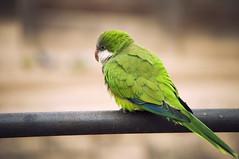 Pensativo (TheLionPo) Tags: green birds animals solitude alone parrot pajaros animales animalplanet cotorra animaladdiction osieaux