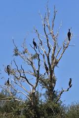Kawau - black shag - Phalacrocorax carbo (Steve Attwood) Tags: newzealand bird nature canon wildlife canterbury cormorant shag kawau phalacrocoraxcarbo lakeellesmere blackshag tewaihora auldwoodphotography