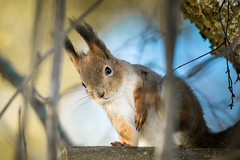 Orav / Tree squirrel / Sciurus (rene j) Tags: orav treesquirrel sciurus