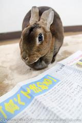 IMG_5699-1 (Rabbit's Album) Tags: rabbit bunny animals  choco   minirex    canonx7i x7i sigma1750mmf28exdcoshsmcanon
