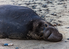 Elephant Seal at Ano Nuevo State Park-7972 ( / Jiayin Ma) Tags: california park elephant beach water 1 sand state wave route seal ao ano nuevo seaocean