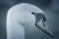 I'm Pretty Shy For A White Guy (Alfred Grupstra Photography) Tags: portrait bird grass animal swan nikon nederland grace nl noordholland desatured zwaagdijk