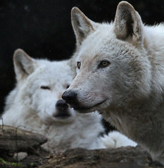 Two Of A Kind (Gary Wilson  ) Tags: park camera ireland wild dublin dog nature phoenix beautiful animal gardens digital canon lens mammal photography eos grey zoo photo wolf europe flickr foto natural image zoom wildlife snapshot gray picture canine telephoto 7d species lobo endangered creature lupus wolves carnivore intelligent ferocious phoenixpark greywolf canis dublinzoo zoological canislupus canid 100400l zoologicalgardens graywolves eaza baileathcliath